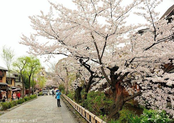 shirakawadori-sakura-kyoto